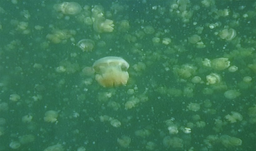 A Duck for Mr Darwin: Dorothy Cross: Jelly Fish Lake (01)