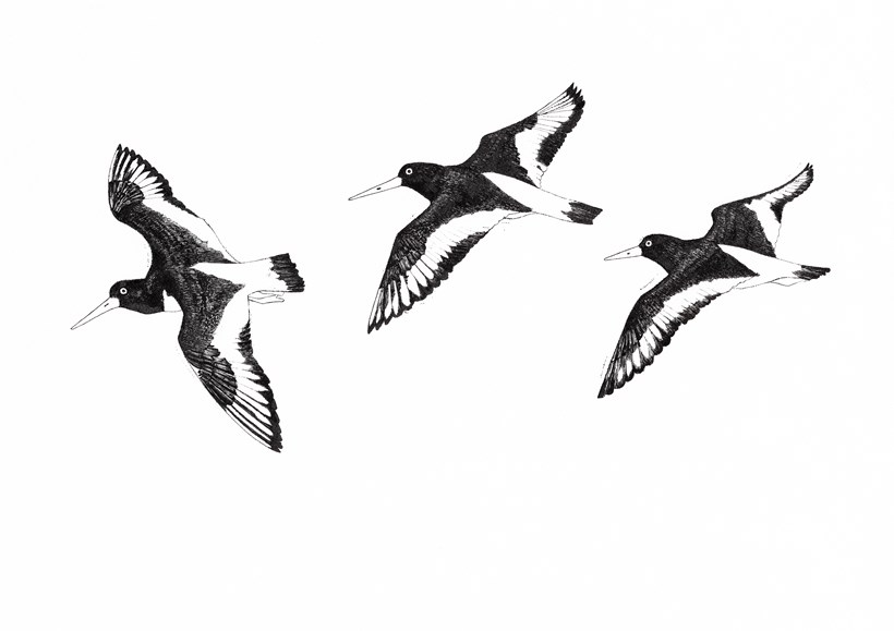 Hanna Tuulikki: Away with the Birds, Drawing 'Oystercatcher'